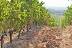 vineyards-Bulgaria-0