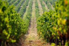vineyards-Bulgaria-01